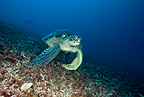 Green sea turtle, Meno wall dive site, Gili Meno, Lombok, Indonesia, Pacific Ocean