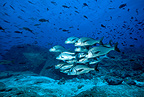 Shoal of Galapagos grunt, Galapagos Islands, UNESCO Natural World Heritage Site, Ecuador, East Pacific Ocean