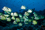 School of Barberfish, Darwin island, Galapagos Islands, UNESCO Natural World Heritage Site, Ecuador, East Pacific Ocean