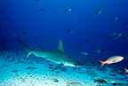 Scalloped hammerhead, Endangered (IUCN), Darwin island, Galapagos Islands, UNESCO Natural World Heritage Site, Ecuador, Pacific