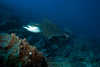 Eagle ray, Galapagos Islands, UNESCO Natural World Heritage Site, Ecuador, East Pacific Ocean