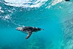 Galapagos Penguin, Endangered (IUCN), Bartholome Island, Galapagos Islands, UNESCO Natural World Heritage Site, Ecuador, Pacific