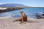Galapagos sealion, Punta Espinosa, Fernandina Island, Galapagos Islands, UNESCO Natural World Heritage Site, Ecuador, Pacific