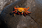 Red rock crab, North Seymour Island, Galapagos Islands, UNESCO Natural World Heritage Site, Ecuador, East Pacific Ocean