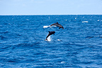 Bottle nosed dolphin jumping out of the sea, Galapagos Islands, UNESCO Natural World Heritage Site, Ecuador, East Pacific Ocean