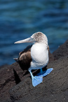 Blue-footed Booby, Punta Espinosa, Fernandina Island, Galapagos Islands, UNESCO Natural World Heritage Site, Ecuador, Pacific