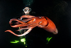 scuba diver and Jumbo (Humboldt) Squid or red devil, Loreto, Sea of Cortez, Baja California, Mexico, East Pacific Ocean