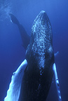 Humpback whale, Vulnerable (IUCN), Silver Bank, Turks & Caicos, Caribbean Sea, Atlantic Ocean