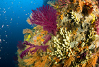 Red seafan, yellow gorgonian and yellow sponges, Punta Sant'Angelo dive-site, Ischia Island, Italy, Tyrrhenian Sea, Mediterranean
