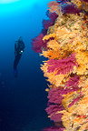 Scuba diver, red seafan, yellow gorgonian and yellow sponges, Punta Sant'Angelo dive-site, Ischia Island, Italy, Tyrrhenian Sea