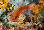 Cardinal fish with eggs in the mouth, Ischia Island, Italy, Tyrrhenian Sea, Mediterranean
