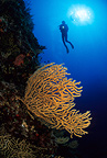 Scuba diver and yellow seafan, Vis Island, Croatia, Adriatic Sea, Mediterranean