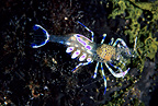 Commensal shrimp, Ist Island, Croatia, Adriatic Sea, Mediterranean