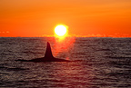 Killer whale at sunset, Norway, Atlantic Ocean
