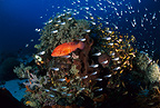 Coral cod and glassfish, Komodo archipelago islands, Komodo National Park, Natural World Heritage Site, Indonesia, Pacific Ocean