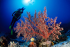 Scuba diver with soft coral, Komodo archipelago islands, Komodo National Park, Natural World Heritage Site, Indonesia, Pacific