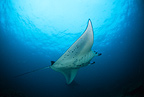 Manta ray, Komodo archipelago islands, Komodo National Park, Natural World Heritage Site, Indonesia, Pacific Ocean