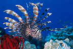 Common lionfish, Komodo archipelago islands, Komodo National Park, Natural World Heritage Site, Indonesia, Pacific Ocean