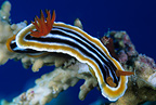 Nudibranch, Komodo archipelago islands, Komodo National Park, Natural World Heritage Site, Indonesia, Pacific Ocean