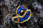 Couple of nudibranch, Komodo archipelago islands, Komodo National Park, Indonesia, Pacific Ocean