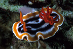 Nudibranch, Komodo archipelago islands, Komodo National Park, Indonesia, Pacific Ocean