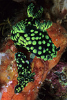 Nudibranch pair mating, Komodo archipelago islands, Komodo National Park, Natural World Heritage Site, Indonesia, Pacific Ocean