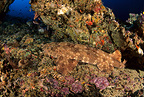 Tasselled wobbegong, Komodo archipelago islands, Komodo National Park, Natural World Heritage Site, Indonesia, Pacific Ocean