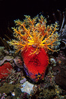 Apple sea cucumber, Komodo archipelago islands, Komodo National Park, Indonesia, Pacific Ocean