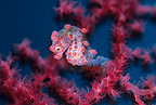 Pigmy seahorse, Komodo archipelago islands, Komodo National Park, Indonesia, Pacific Ocean