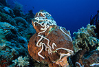 Sea cucumbers on sponge, Komodo archipelago islands, Komodo National Park, Indonesia, Pacific Ocean
