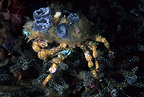 Spider crab decorated with anemones, Komodo archipelago islands, Komodo National Park, Indonesia, Pacific Ocean