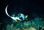 Scuba diver and manta ray feeding, Near Threatened (IUCN), Kona, Big Island, Hawaii, Pacific Ocean