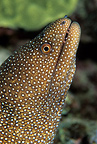 Whitemouth moray, Kona, Big Island, Hawaii, Pacific Ocean