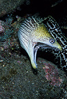 Undulate moray, Kona, Big Island, Hawaii, Pacific Ocean