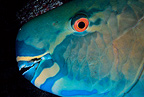 Parrotfish, Kona, Big Island, Hawaii, Pacific Ocean