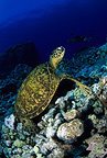 Scuba diver and green sea turtle, endangered (IUCN), Kona, Big Island, Hawaii, Pacific Ocean