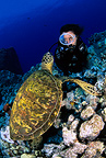 Green sea turtle, endangered (IUCN), Kona, Big Island, Hawaii, Pacific Ocean