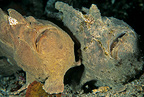Two giant anglerfish or frogfish, Lembeh Strait, North Sulawesi, Indonesia, Pacific Ocean