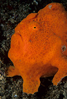 Giant anglerfish / frogfish, Lembeh Strait, North Sulawesi, Indonesia, Pacific Ocean
