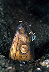 Blackfinned snake eel with commensal shrimp, Lembeh Strait, North Sulawesi, Indonesia, Pacific Ocean