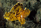 Paper fish, Lembeh Strait, North Sulawesi, Indonesia, Pacific Ocean
