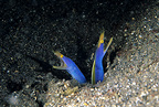 Couple of ribbon eel, Lembeh Strait, North Sulawesi, Indonesia, Pacific Ocean