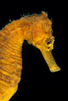 Common seahorse, Lembeh Strait, North Sulawesi, Indonesia, Pacific Ocean