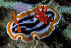 Nudibranch, Lembeh Strait, North Sulawesi, Indonesia, Pacific Ocean