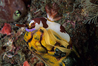 Nudibranch laying eggs on ascidian, Lembeh Strait, North Sulawesi, Indonesia, Pacific Ocean