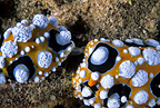 Couple of nudibranch mating, Lembeh Strait, North Sulawesi, Indonesia, Pacific Ocean