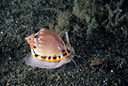 Heavy bonnet sea snail, Lembeh Strait, North Sulawesi, Indonesia, Pacific Ocean