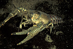 North American crayfish, Lugano lake, Ticino, Switzerland