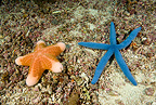 Granulated and Blue Linckia Sea Stars, Monad shoal Reef, Malapascua Island, Central Visayas, Philippines, Pacific Ocean