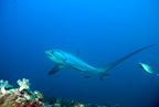 Thresher shark, endangered (IUCN), Monad shoal Reef, Malapascua Island, Central Visayas, Philippines, Pacific Ocean